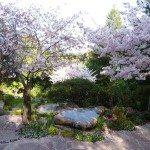 Cherry blossoms Napier rock garden Kentfield ca